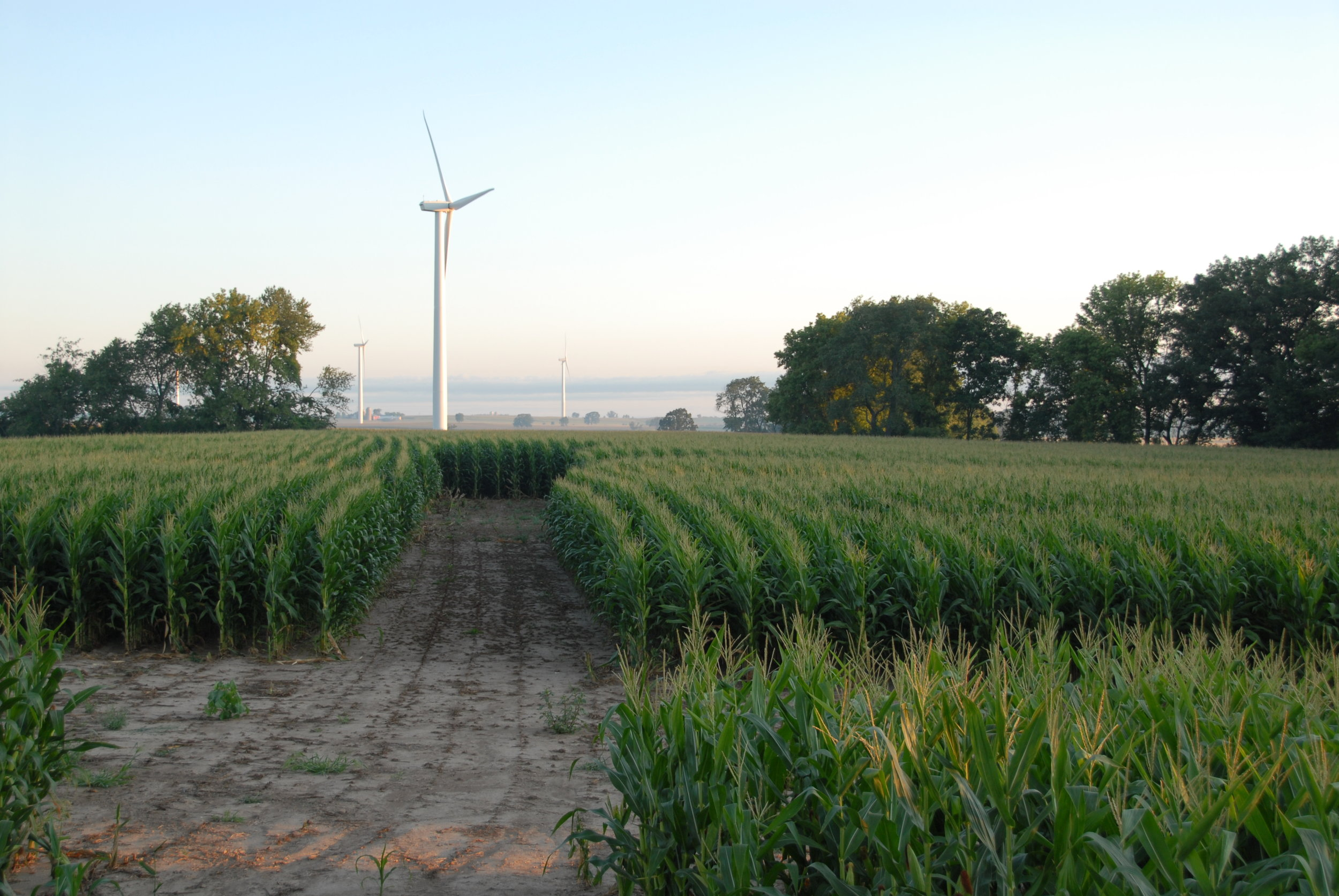 Search transects in a corn field at a wind energy facility in southeastern Wisconsin. Photo by Tom Underwood.