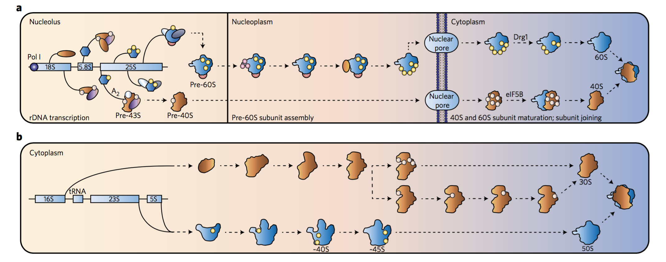 Simplified overview of ribosome biogenesis.   (  a  ) In yeast, ribosome biogenesis initiates with transcription of 18S, 5.8S and 25S rRNA by RNA polymerase I (Pol I). 5S rRNA, transcribed by RNA polymerase III, is omitted for clarity. Co-transcriptional assembly and modification of the pre-43S particle occurs until the emergence of the A  2   RNA cleavage site, at which time the pre-43S particle is released and transcription continues through the 60S subunit rRNA genes. The 40S and 60S subunits are then independently assembled with the assistance of ~200 assembly factors. Upon export of the pre-ribosomal particles into the cytoplasm, mature 60S subunits bind pre-40S particles in an eIF5B-dependent pre-translation quality control checkpoint before final 40S maturation. Representative ribosome assembly factors are depicted with pink, yellow and purple circles. (  b  ) Bacterial ribosome biogenesis begins with transcription of 16S, 23S and 5S rRNA as a single transcript that is then cleaved by a series of RNases to release pre-30S and pre-50S particles. As in yeast, rRNA transcripts are co-transcriptionally assembled and modified (omitted for clarity). 30S and 50S subunits are subsequently modified by ~60 biogenesis factors and mature through multiple parallel assembly pathways before translation initiation. Unlike eukaryotic ribosome biogenesis, this process in bacteria does not necessitate a nuclear export event, and a pre-translation quality control checkpoint has yet to be observed. Representative ribosome assembly factors are depicted with pink and yellow circles.