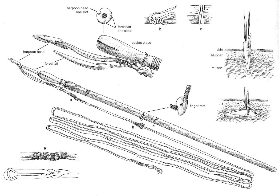 Illustration of a walrus harpoon with toggling harpoon head collected from Barrow, Alaska.
