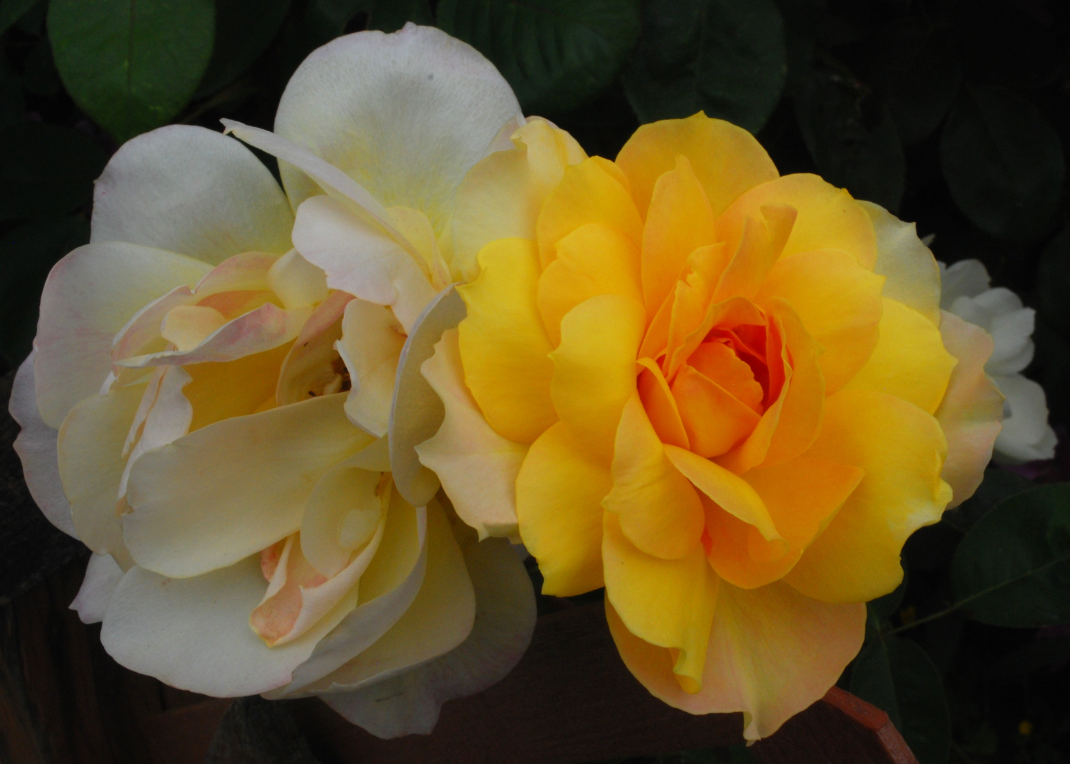 Roses in Snohomish