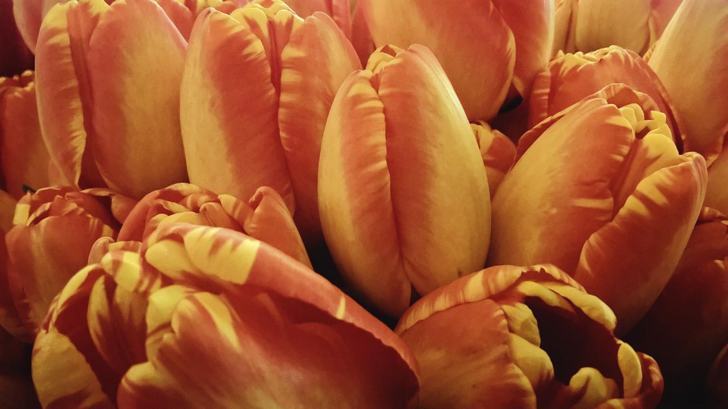 Tulips - Snohomish, WA