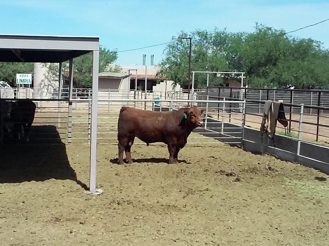 """The herd bull, """"Brackish"""""""