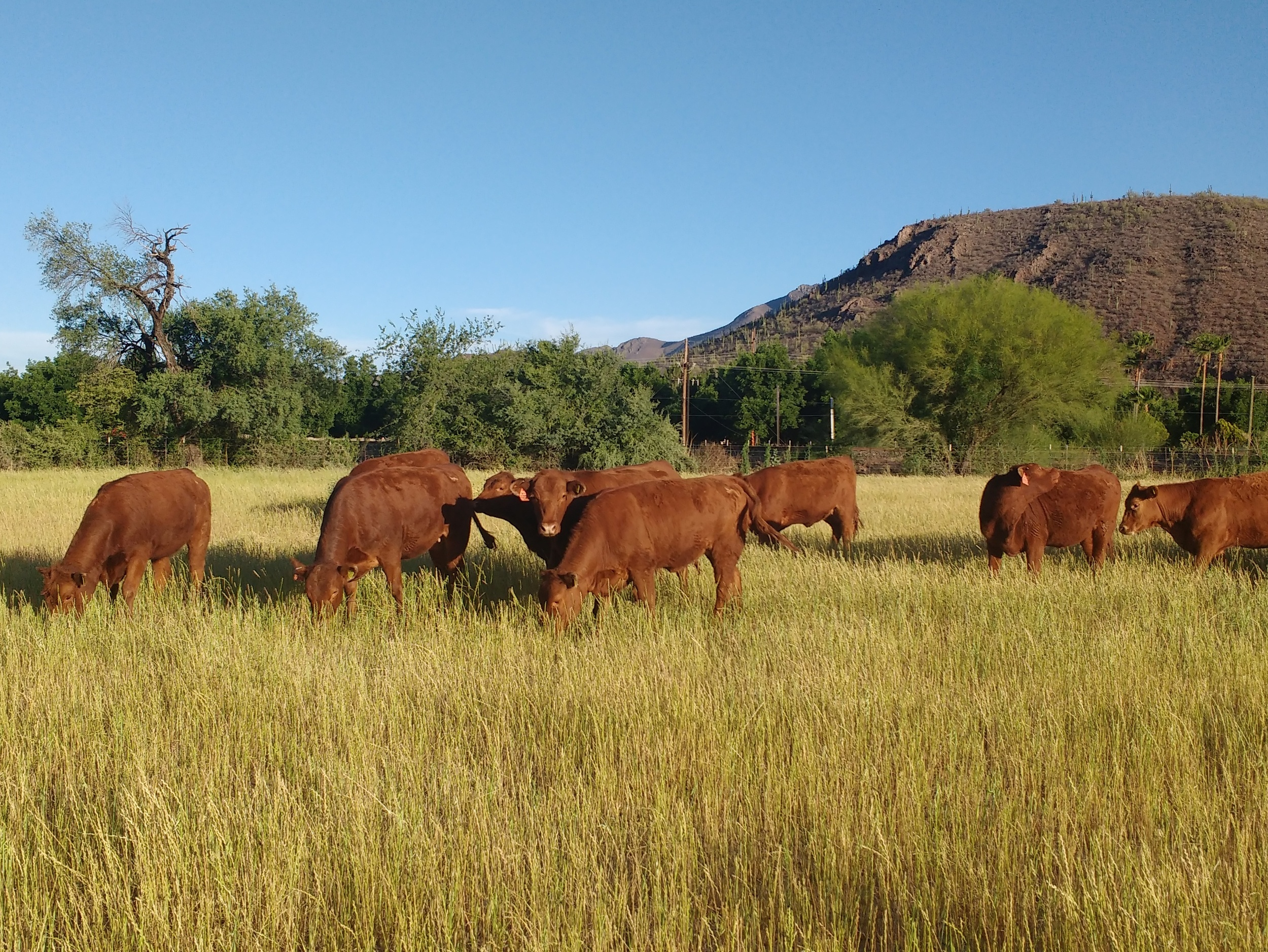 The females are corralled for the night and fed hay and pastured during the day to graze.
