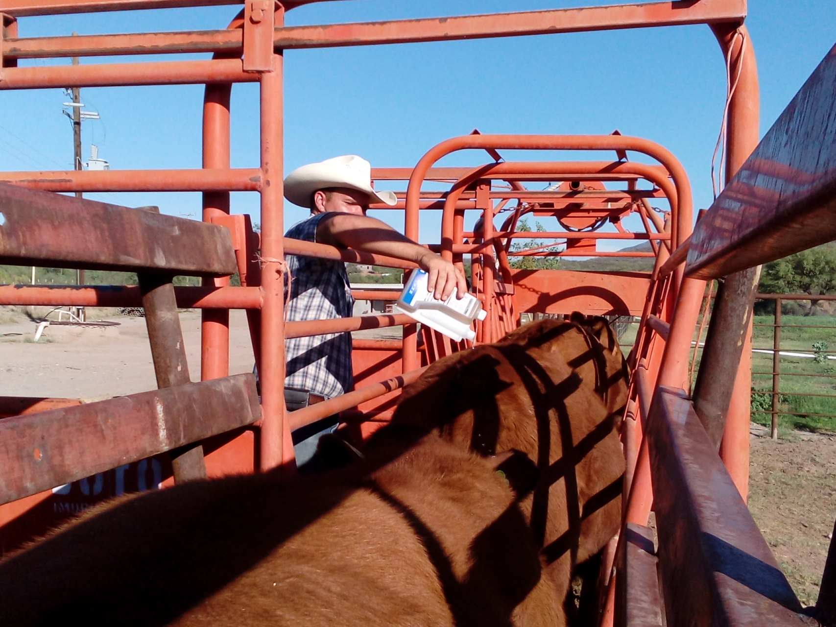 The cattle are run through the chute and poured-on for flies.
