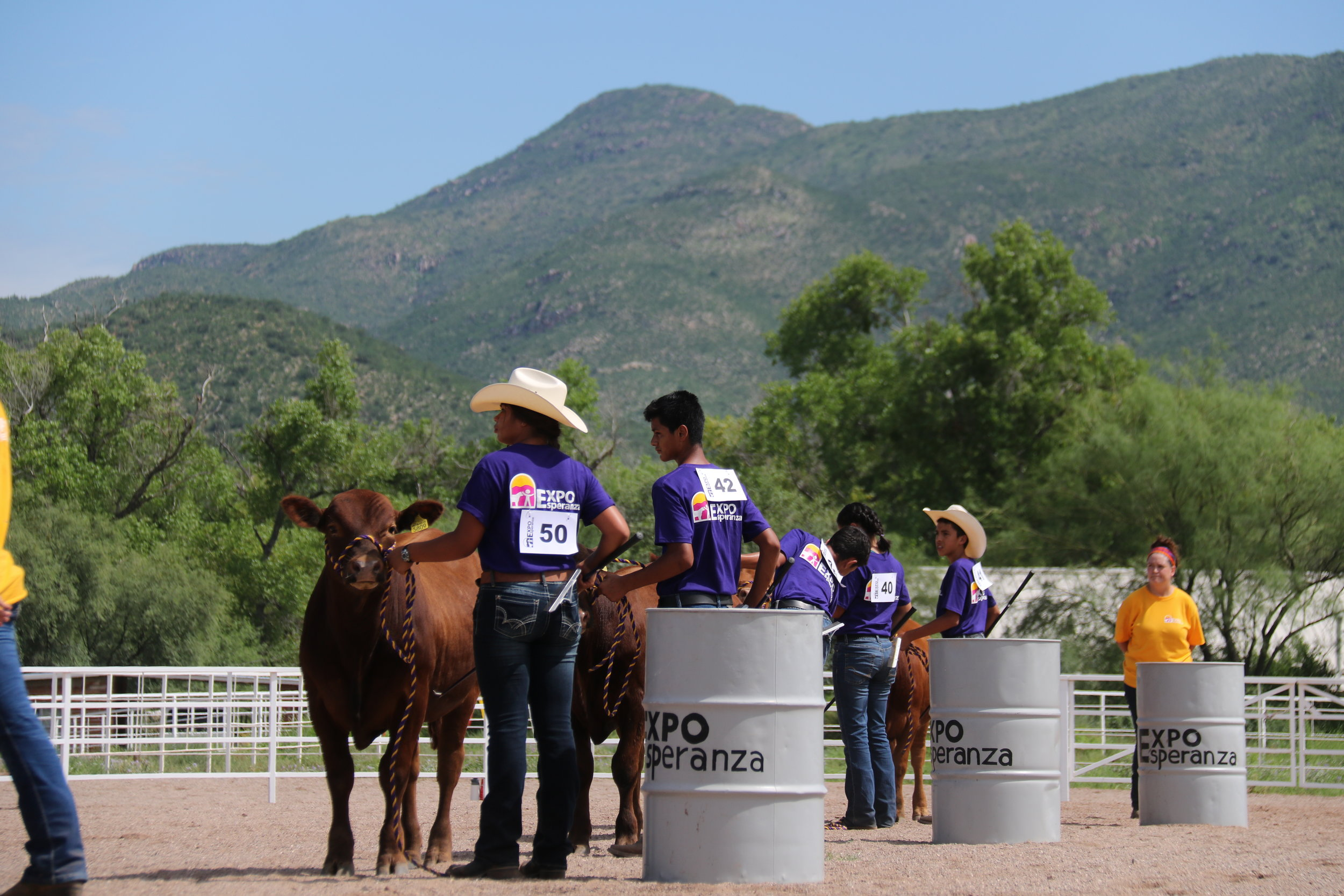 "In the ring, the Advanced participants show their ""Bovinos"" (cattle) projects in a showmanship class.  There is also an intermediates cattle class.  The cattle are owned by Rancho Agua Viva."