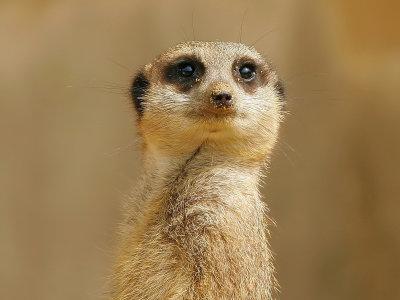 meerkats2.jpg