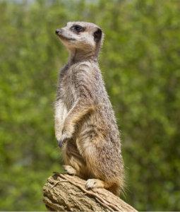 meerkats4.jpg