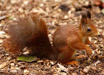 Tufty, one of our mature Red Squirrels, has been the  mainstay of our colony for many years