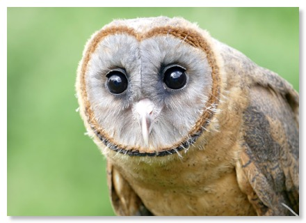 We plan to find a mate for our new Ashey Faced Owl - if they breed this will provide new bloodlines  and stock to aid re-population