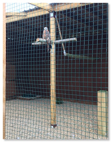 The aviary for Red Kites has perches shaped to their needs and aviary design free from hindrance so they have  room to stretch their wings when not in display