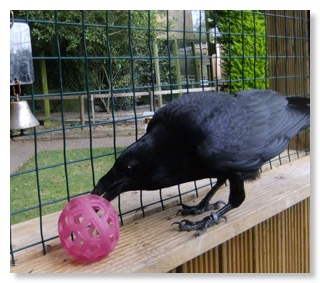 Charlie demonstrating her skilful beak/eye co-ordination - and she's a great one for picking her toys up and throwing them around the aviary!