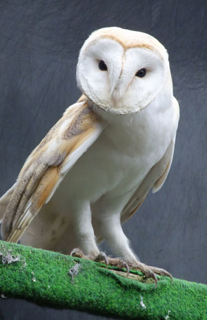 After a stressful time at the vets, the injured  Barn Owl enjoys some peaceful recuperation
