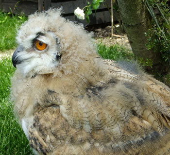 You can see how Tura's fluffy down is quickly converting to beautiful honey-coloured plumage