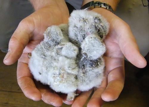 five-baby-little-owls-large.jpg