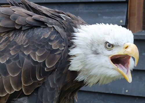 Lincoln, our maturing Bald Eagle, communicates with visitors!