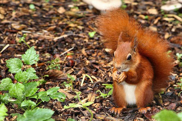 One of the mature Red Squirrels at S.O.S. enjoys a snack