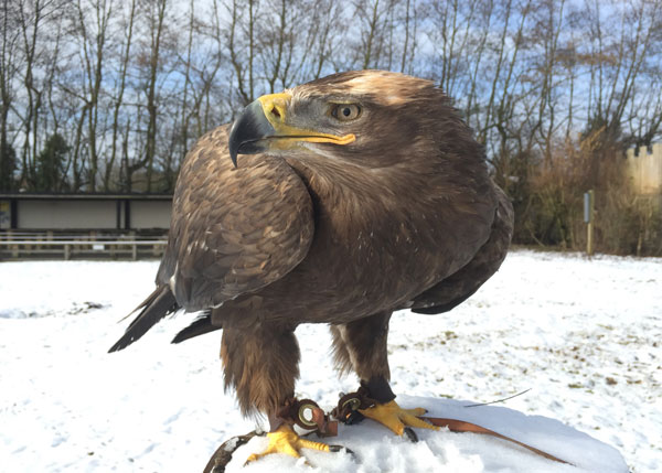 Mir the Steppe Eagle feels at home as the temperature drops!