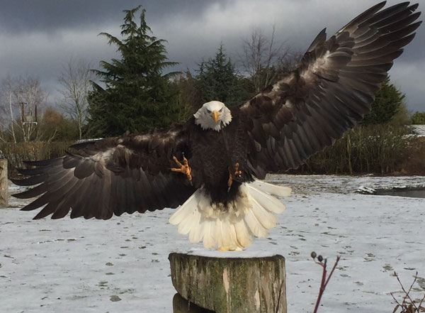 Juvenile Bald Eagle, Lincoln, comes in for a snowy landing.
