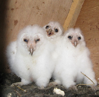 A trio of young Barn Owls raised in one of our project boxes