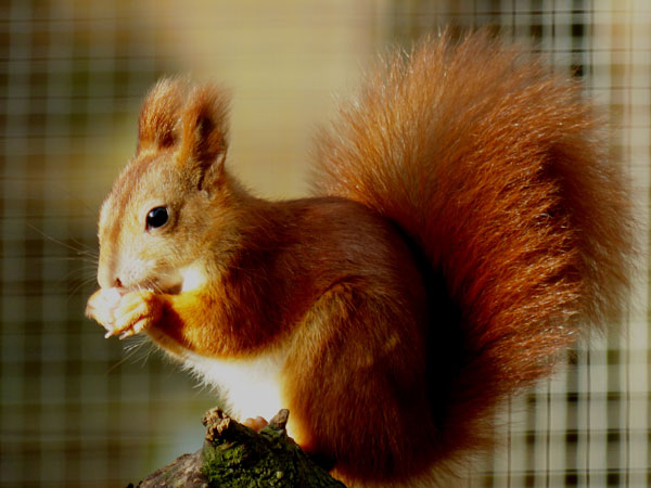 Visitor David Openshaw caught this great image of one of our Red Squirrel youngsters, which he entered into our 2017 Photo Competition
