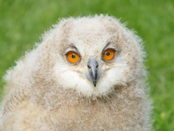 Tura the baby Siberian Eagle Owl attempts to hypnotise the falconer with the food supply!