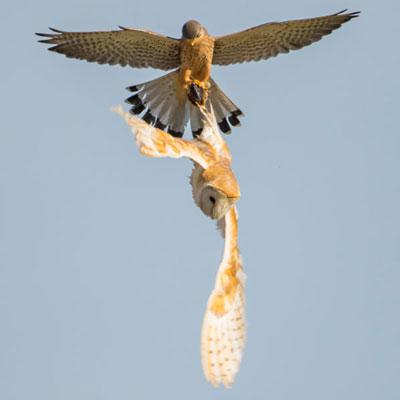 barn-owl--kestrel-o05.jpg