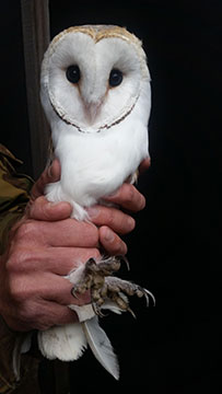 Now fully recovered, this young Barn Owl has been   successfully released with wing feathers all intact