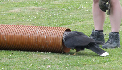 … even scurrying down pipes to find that last morsel!