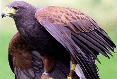 The Harris' Hawk - one of the most social birds of prey in terms of working with humans - sports a rich, russet plumage