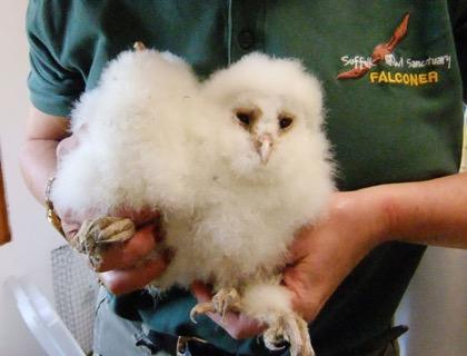 Storm damage Barn Owl orphans settle into the hospital.