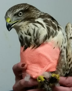 Boris had his primary feathers removed for   the wing operation and currently is cosseted   in a bright pink bandage