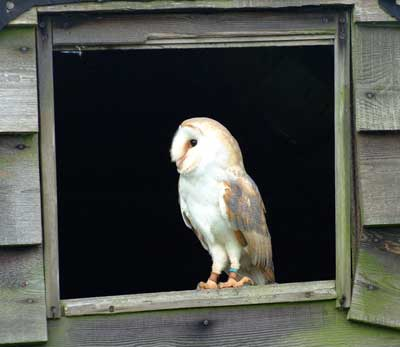 Our Barn Owl Cobweb free lofts in an aviary 8ft x 12ft with three perches