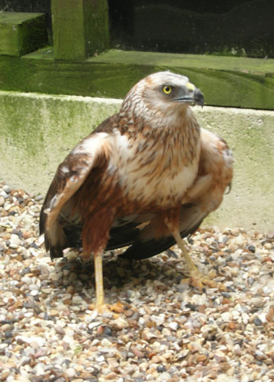 This Marsh Harrier is typical of the larger species of wild birds of prey we are now privileged to treat, nurture and   re-habilitate