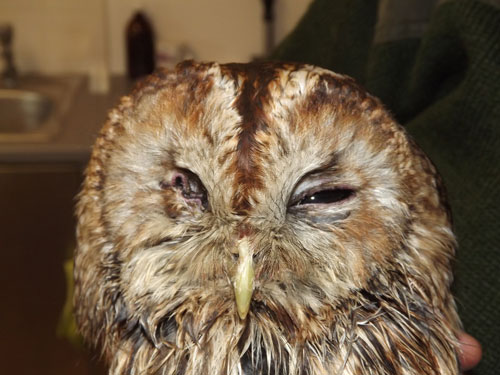 Not a pretty sight - but this Tawny Owl who lost as eye when  mobbed by rooks made it through and is soon to be released
