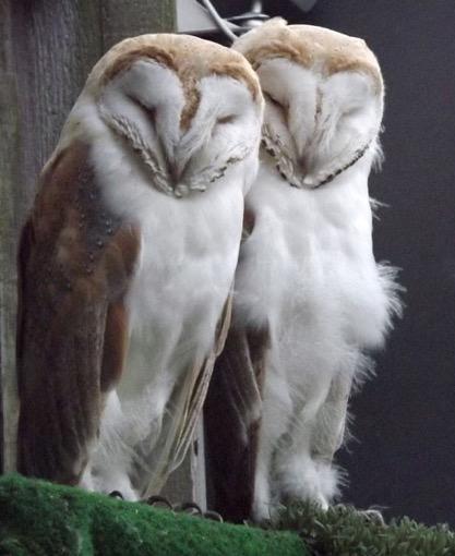 barn-owl-pair-1-lr.jpg