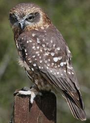 Aukland the Boobook Owl