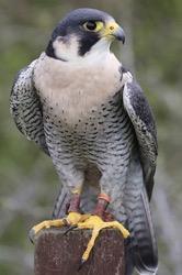 Ray the Peregrine Falcon