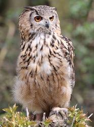 Baloo the Indian Eagle Owl