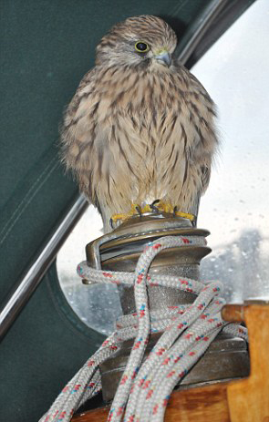 """Lucky"" by name, lucky by nature - this young kestrel   hitched a lift back to Suffolk by boat"
