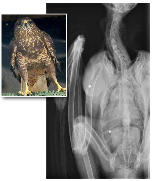 Though having been shot twice, this Buzzard was eventuallyreturned safely to the wild