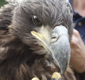 sea-eagle1sm2.jpg