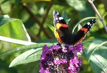 A Red Admiral alights on the     buddleia