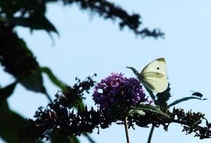 "Scourge of cabbage-growers everywhere -   the Large White or ""Summer Snowflake"""