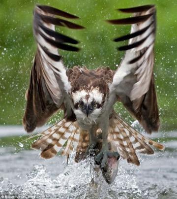 sm-osprey-5.jpg