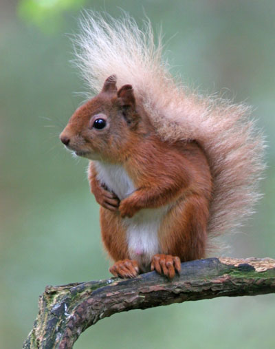 The distinctive bushy tail and tufty ears of the native Red Squirrel are shown to best advantage in this photograph taken for us by Paul Sawer, who runs some of our Photo Days