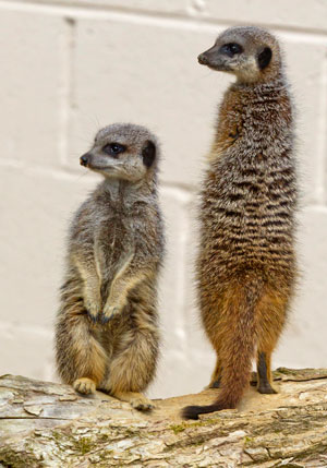 ma-0026-pa-meerkat-at-suffolk-owl-sanctuary-2.jpg