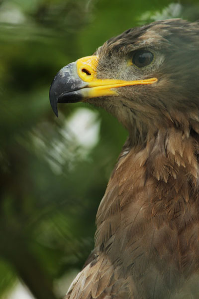 One of our visiting Tawny Eagles looks on…
