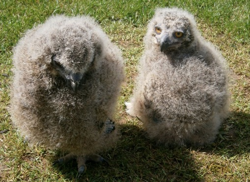 Despite being hatched only 4 days apart, the obvious difference in size of these two month-old European Eagle Owlets illustrates their rapid rate of growth