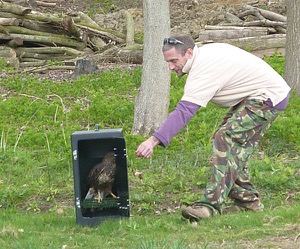 Volunteer Pete does the honours of releasing the Buzzard...