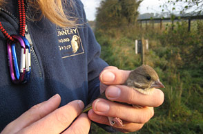 Very careful handling of the birds as they are ringed is a prerequisite of the task in hand - for more information on the B.T.O. and its work,    click here